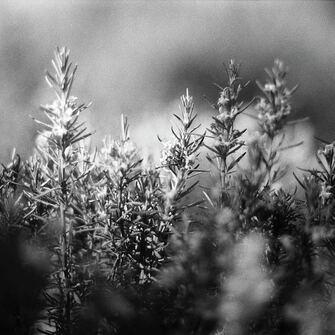 C'est en puisant loin dans les souvenirs de notre enfance sauvage et irrévérencieuse que nous vient l'inspiration pour créer des produits purs, naturels et gorgés de soleil.  Ici, des rameaux de romarin photographiés dans la garrigue sur les hauteurs de la Côte Bleue.  ❤️🍋   #nostra#nostracosmetics#cosmetiquenaturelle#madeinfrance#mediterraneanlife#marseille#cantona#naturesauvage#35mm#portra400#productphotography#suddelafrance#lifestyle#photography#photooftheday#skincare#skincareroutine#senteursdusud
